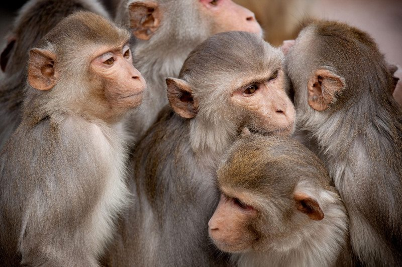 a group of rhesus monkeys