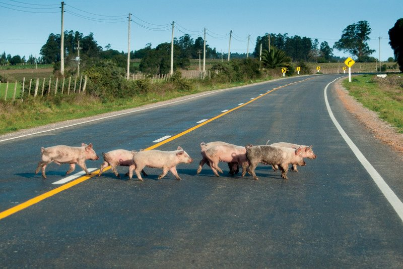 Piglets crossing road