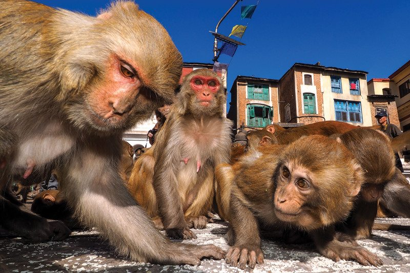 primate brain