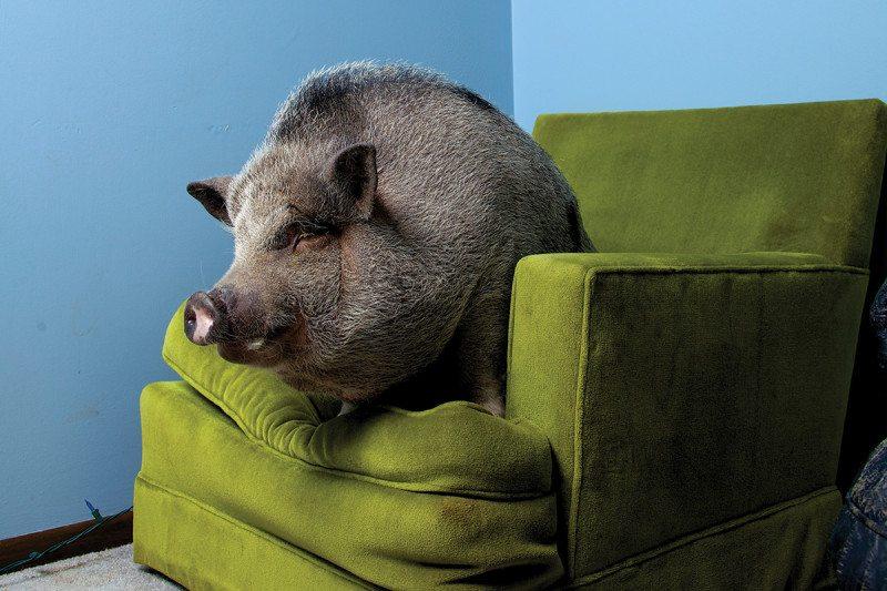 pig on a sofa