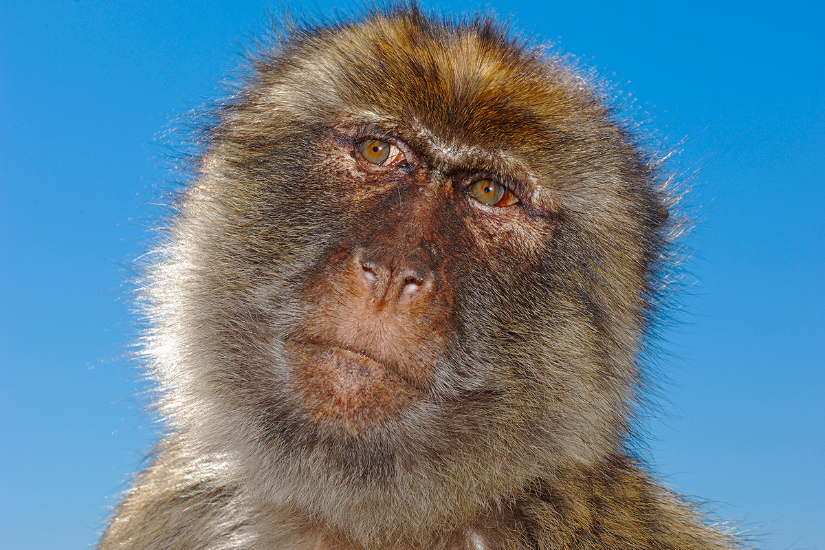 Monkeys can be tricked into thinking all objects are familiar