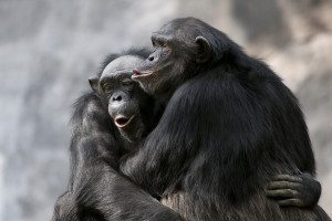 One chimp embracing another
