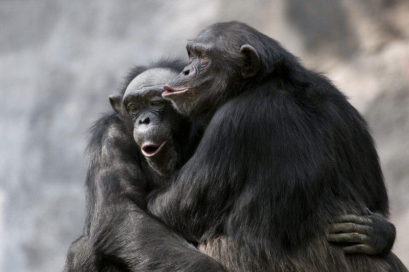 Resultado de imagen de chimp FRIENDS