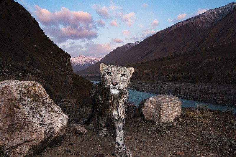 Snow leopard in mountainous landscape