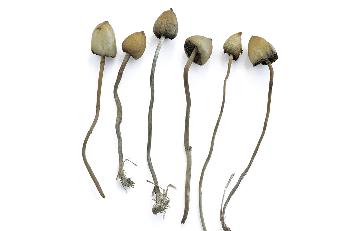 liberty cap mushrooms