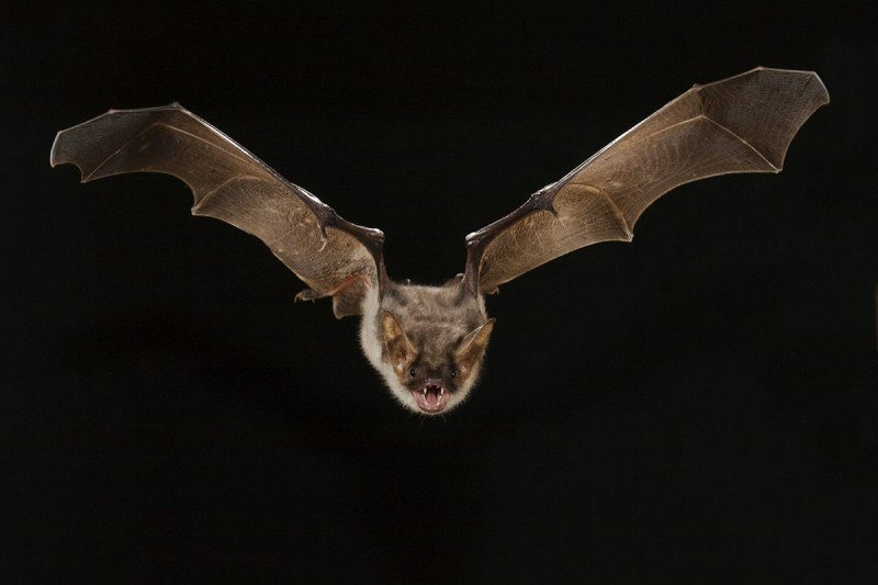 The greater mouse-eared bat has a habit of bumping into windows