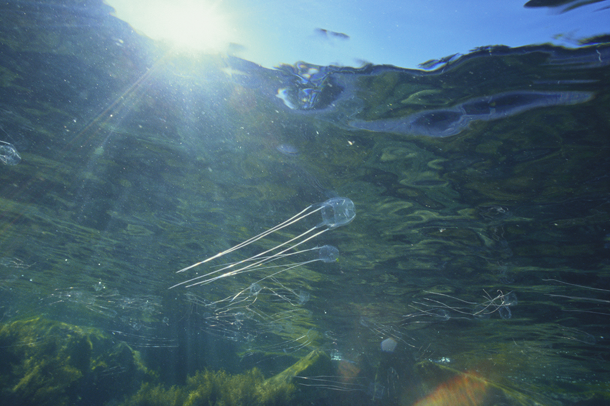 Box jellyfish will destroy future oceans by gobbling up the food