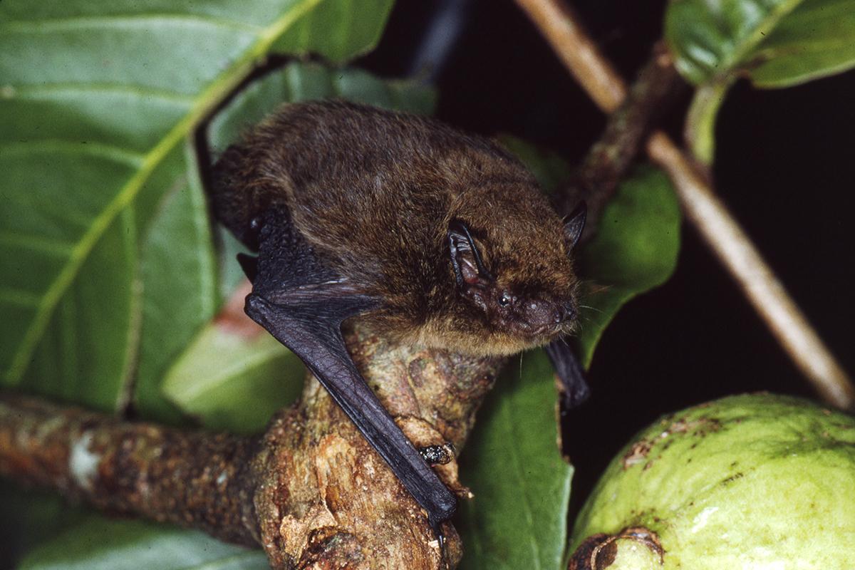 The Christmas Island pipistrelle
