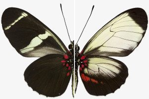 Wing patterns of a normal Sara Longwing butterfly (left) compared to a mutant butterfly generated with CRISPR (right)