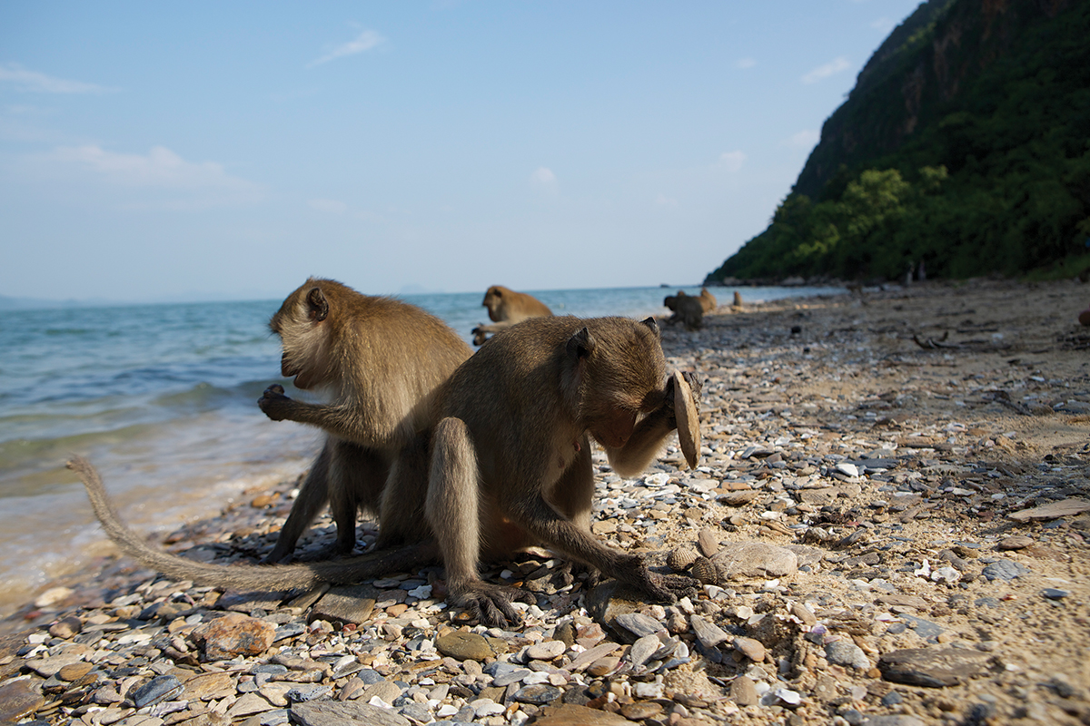 Tool-wielding monkeys push local shellfish to edge of extinction