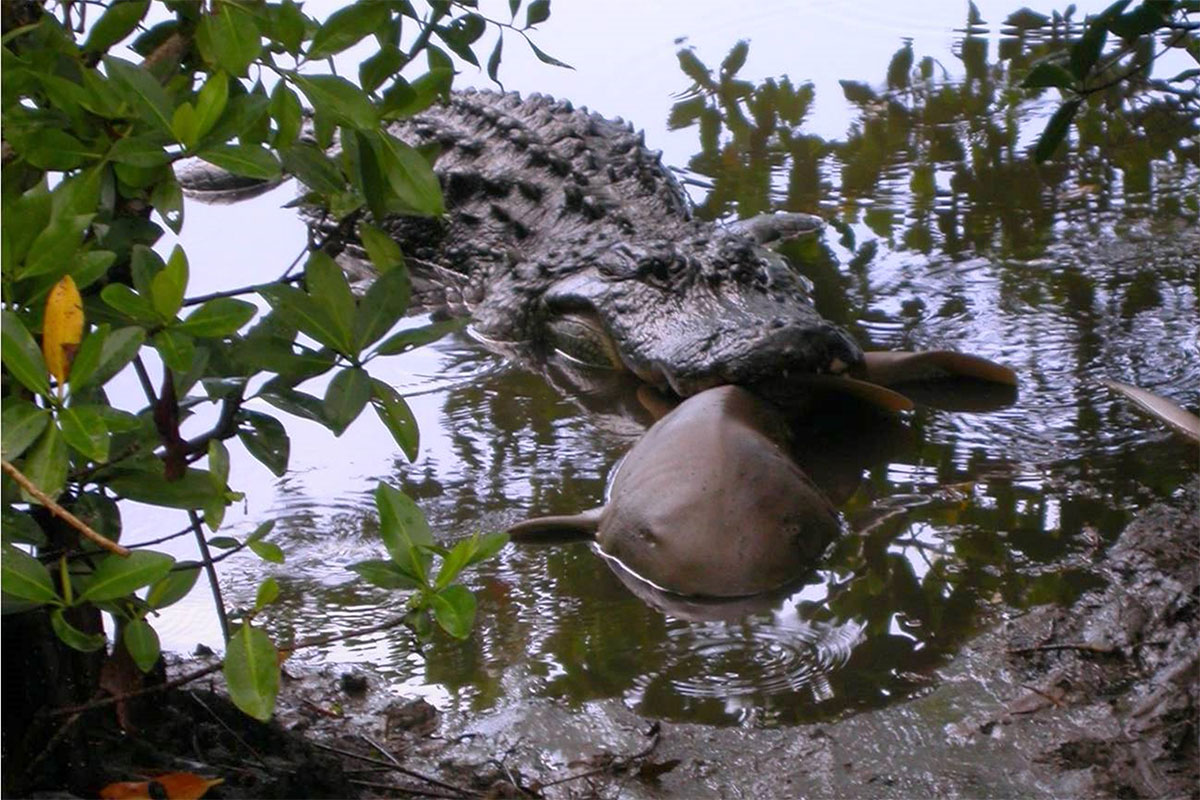 Alligators versus sharks: Who wins this ultimate showdown?