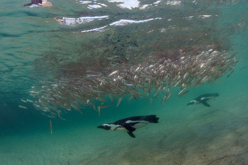 Penguins appear to herd fish into a disc