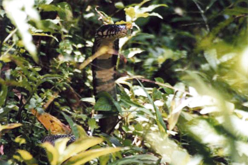 The cobra-preta
