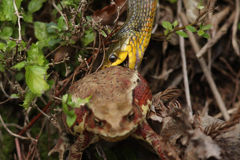 Tiger keelback snake: the toad gets it