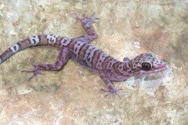 One of the new Cyrtodactylus geckos