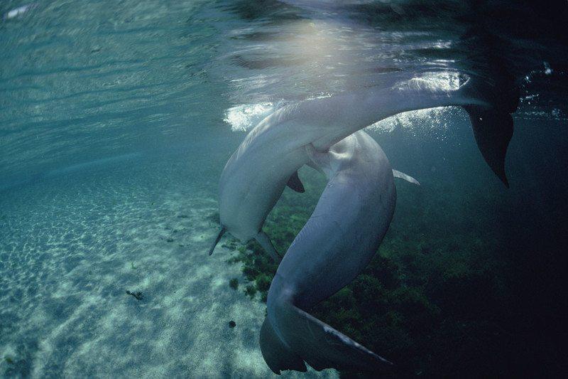 Best mates? bottlenose dolphins get it on
