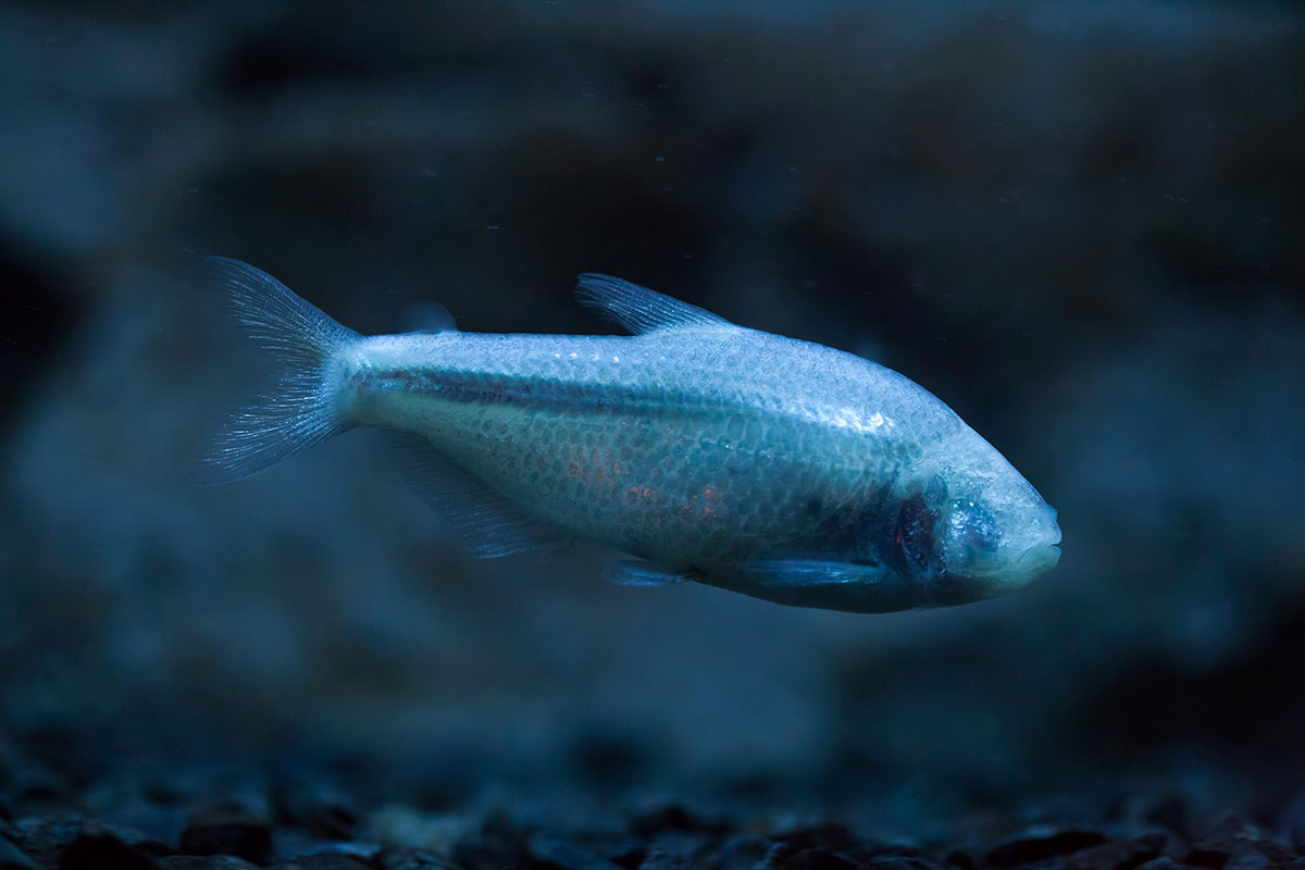 Did blind cavefish evolve by breaking the laws of evolution?