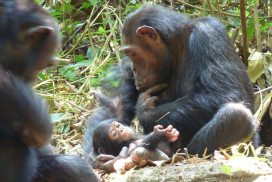 The mother chimp in the story holds an infant she subequently had