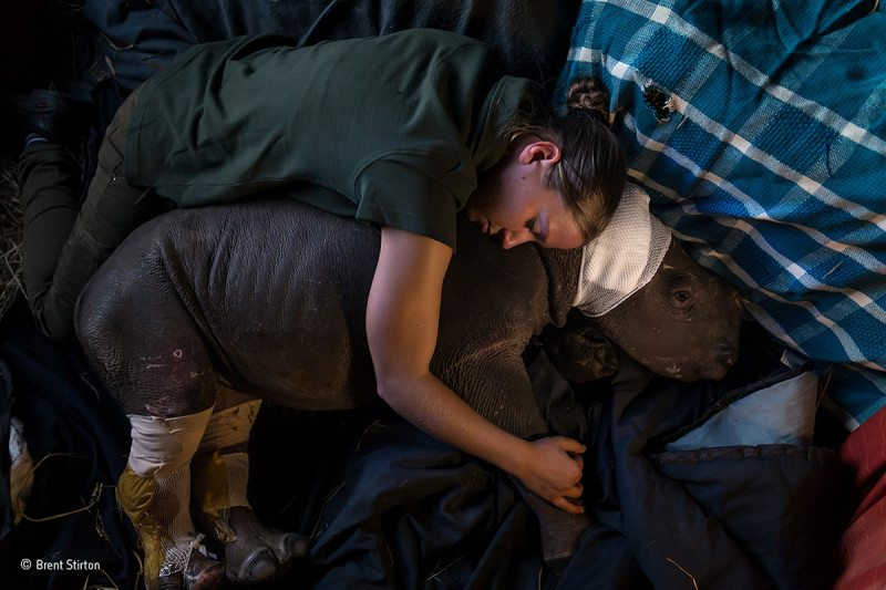 Caring-for-Lulah--Brent-Stirton---Wildlife-Photographer-of-the-Year