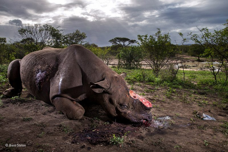 Memorial to a Species captures a black rhino with its horn hacked off in Hluhluwe-Imfolozi Game Park