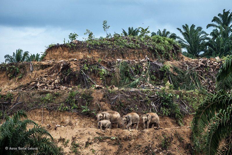 """Palm-oil survivors"" : Winner, Wildlife Photojournalist: Single image"