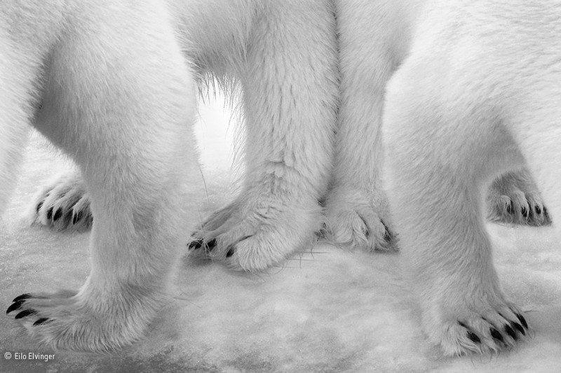 """""""Polar pas de deux"""": Winner 2017, Black and white"""
