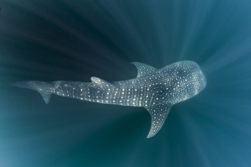 Whale sharks will finally be protected at offshore hotspots to which they migrate, including Madagascar, Mozambique, Peru and Tanzania