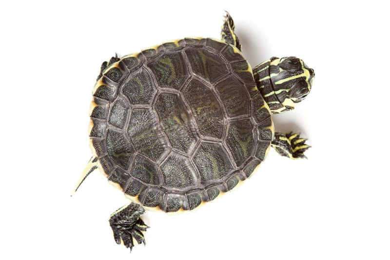 how to train a turtle to do tricks