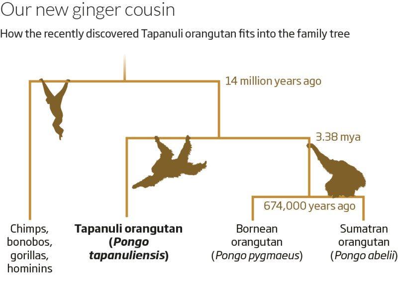 Orangutan_111117lato