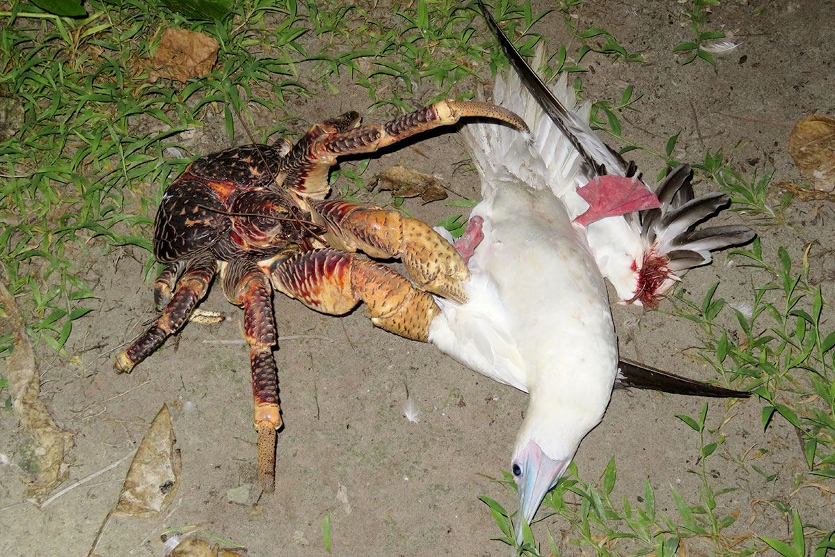Giant coconut crab sneaks up on a sleeping bird and kills it | New Scientist