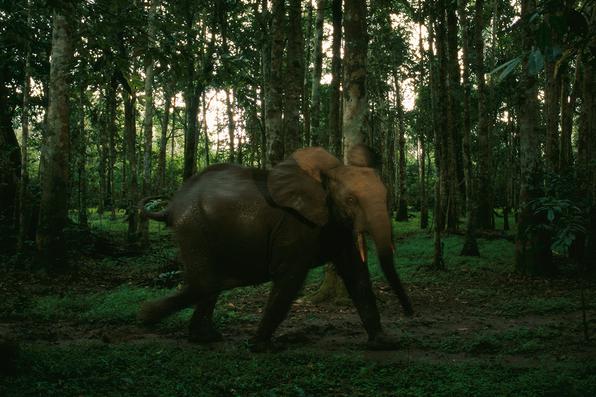 An African forest elephant in a woodland setting in Loango National Park, Gabon.