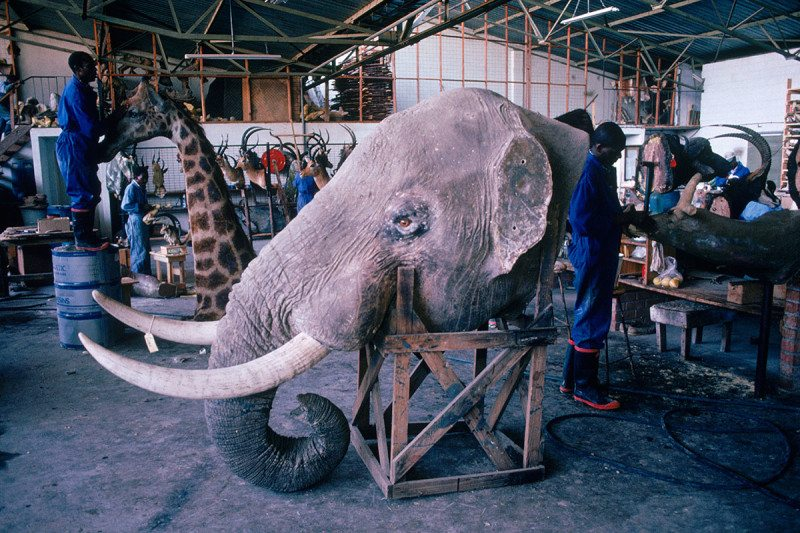 An elephant head with ivory tusks and other hunting trophies in a taxidermy store in Bulawayo, Zimbabwe.