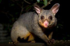Possum against a dark background