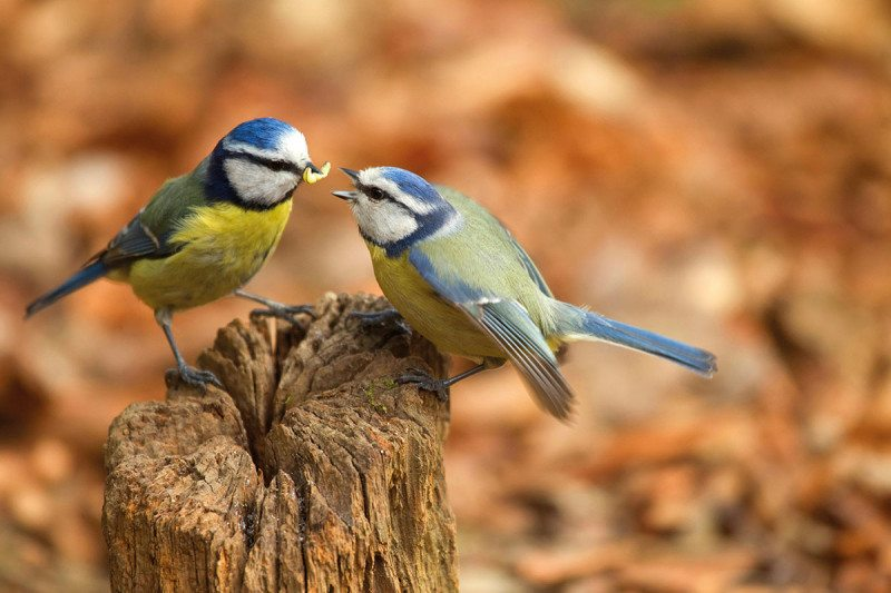 Blue tits are monogamous - unless one of them is late