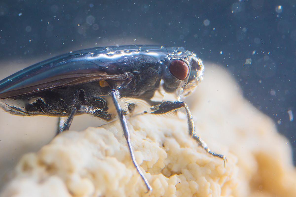 An alkali fly (Ephydra hians)