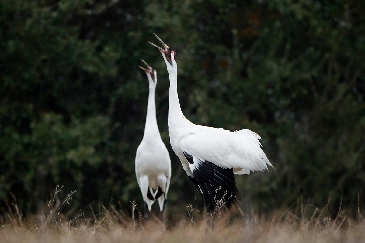 A pair of whooping cranes bugling