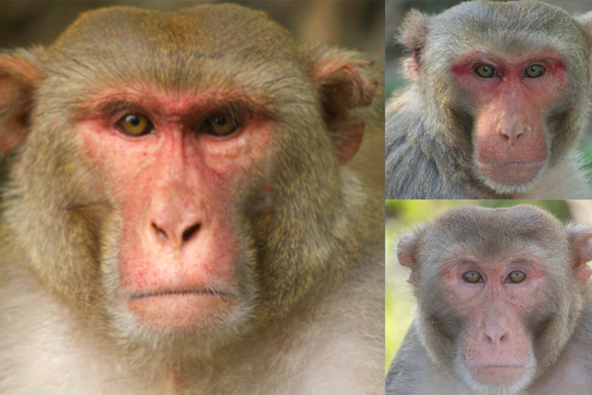 Male monkeys with masculine faces draw long lingering glances