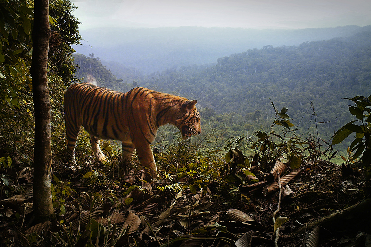 A male Sumatran tiger in Bukit Barisan Selatan National Park
