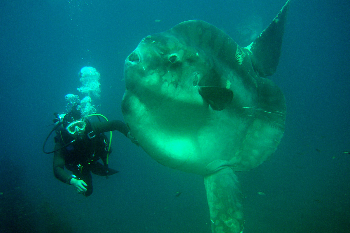Record breaking two tonne fish is the heaviest of its kind for Mola mola fish