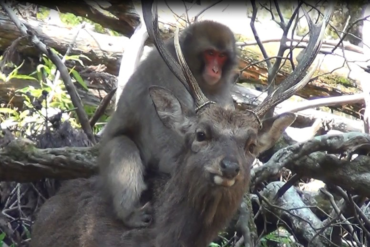 Young female monkeys use deer as ?outlet for sexual frustration?