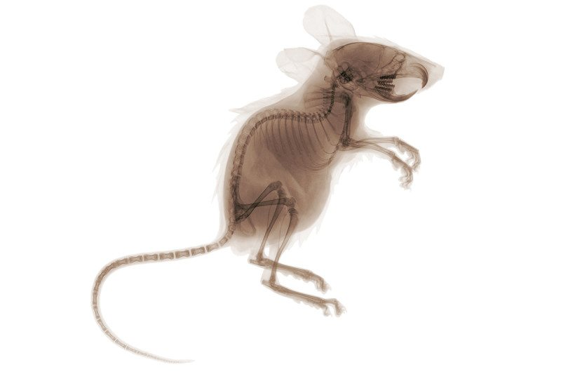 mouse xray