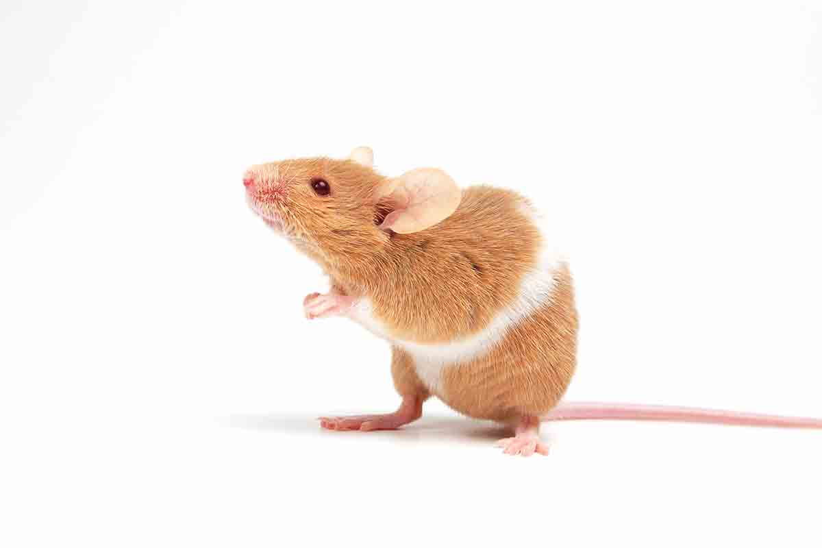 One-off CRISPR treatment slows genetic hearing loss in mice