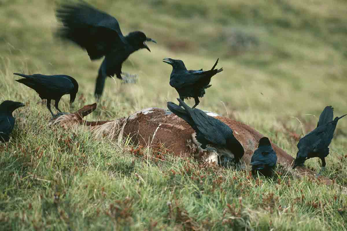 After crows fight they touch and preen each other to make up