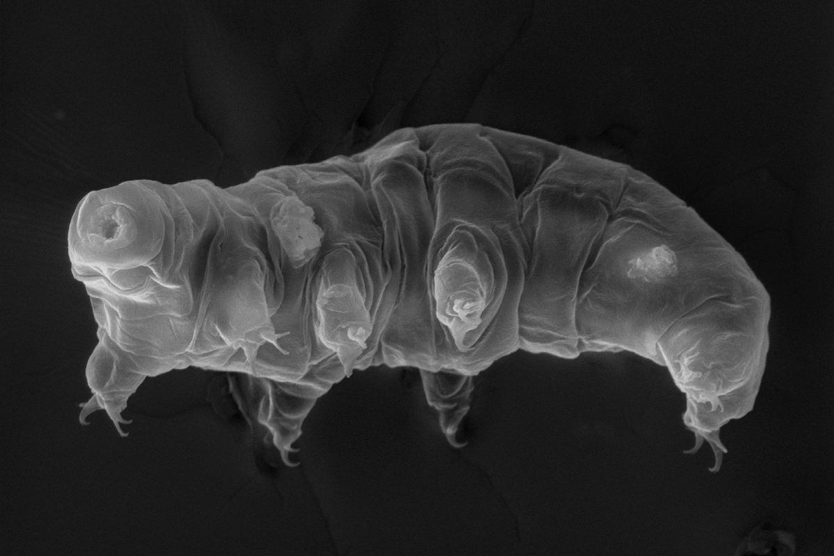 In-toto-tardigrade-Macrobiotus-sp.