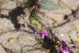 A white-lined sphinx caterpillar (Hyles lineata) devours a sand verbena
