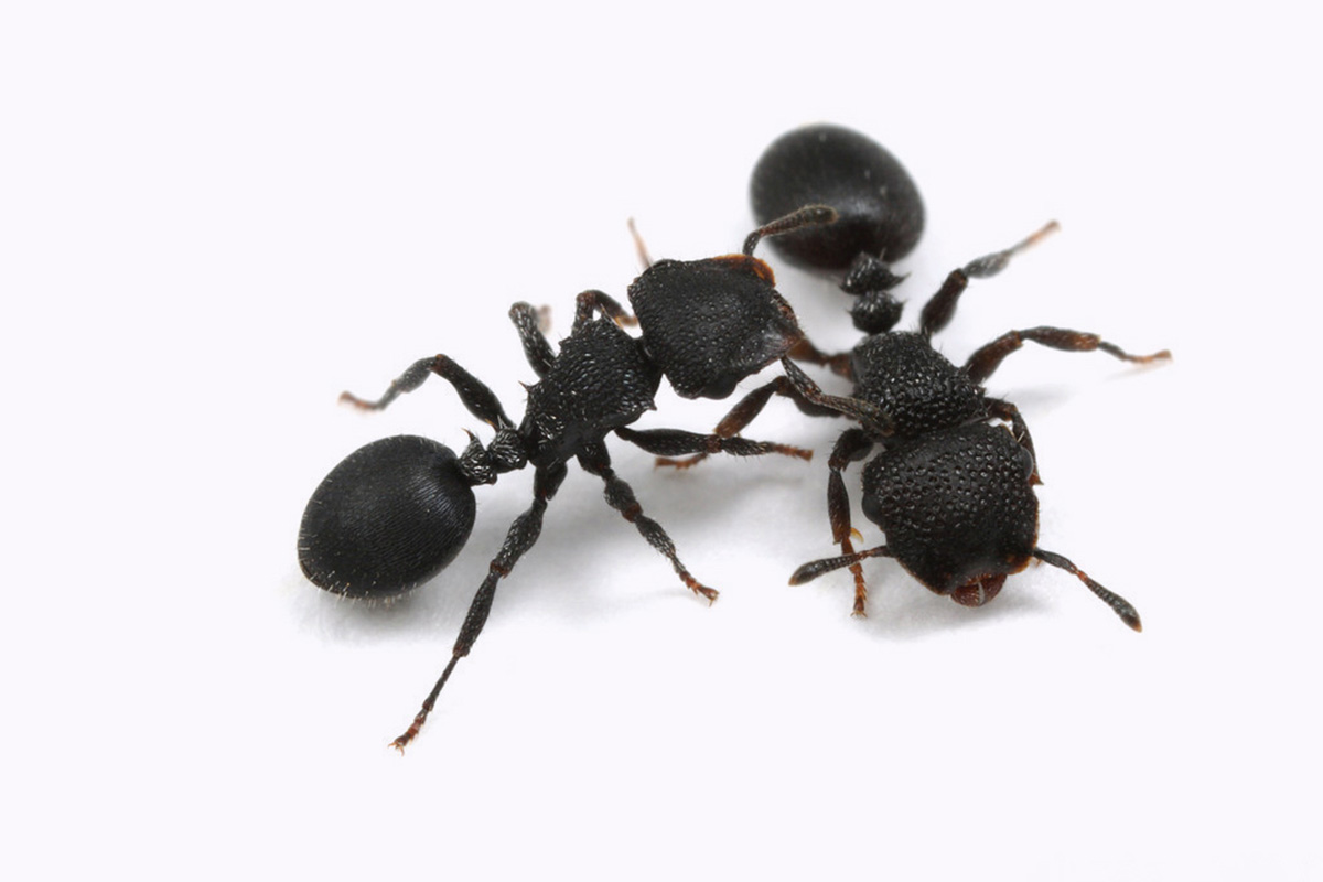 How besieged ants decide when it's time to abandon their nests