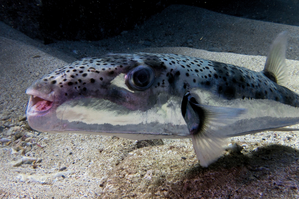 Invasive toxic pufferfish causes havoc in European waters