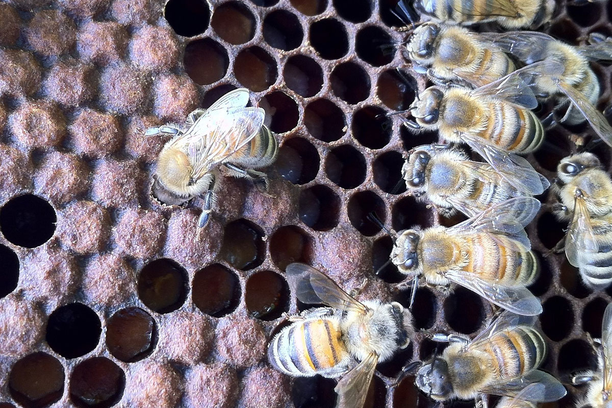 Smell of death tells undertaker bees it's time to remove corpses