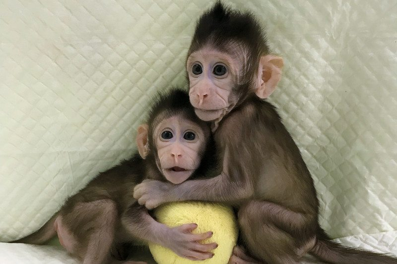 Cloned monkeys...scientific breakthrough, good or bad? Zhongzhong-and-huahua-1-800x533
