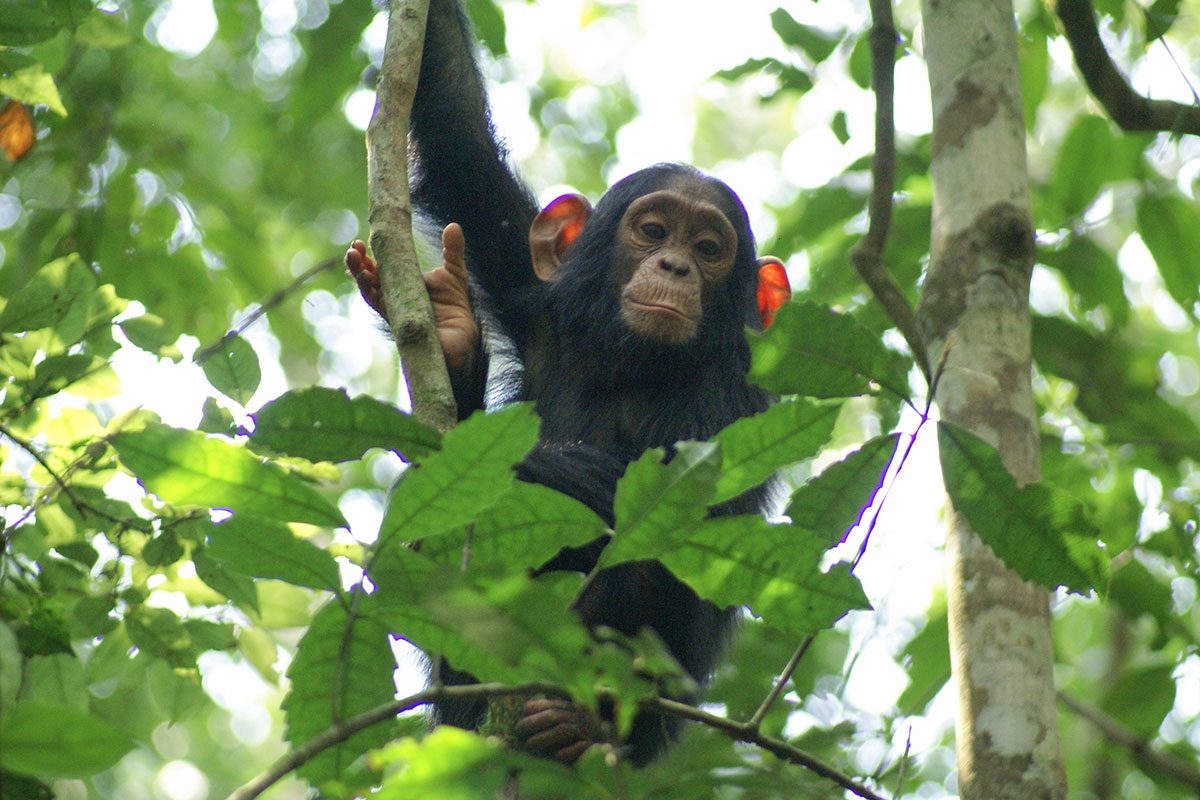 A juvenile chimpanzee in Kibale National Park, Uganda